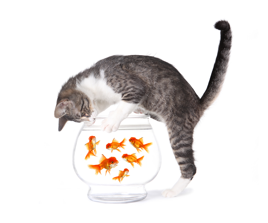 Cat Fishing for Gold Fish in an Aquarium Bowl